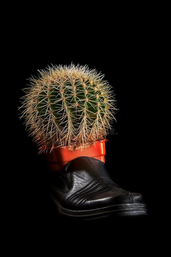 Dolor de pierna del concepto Cactus redondo grande con las agujas amarillas largas en un zapato negro viejo Fondo negro imagen de archivo