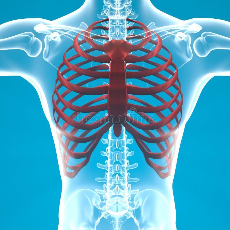 Dolor esquelético del ribcage del hombre que respira stock de ilustración