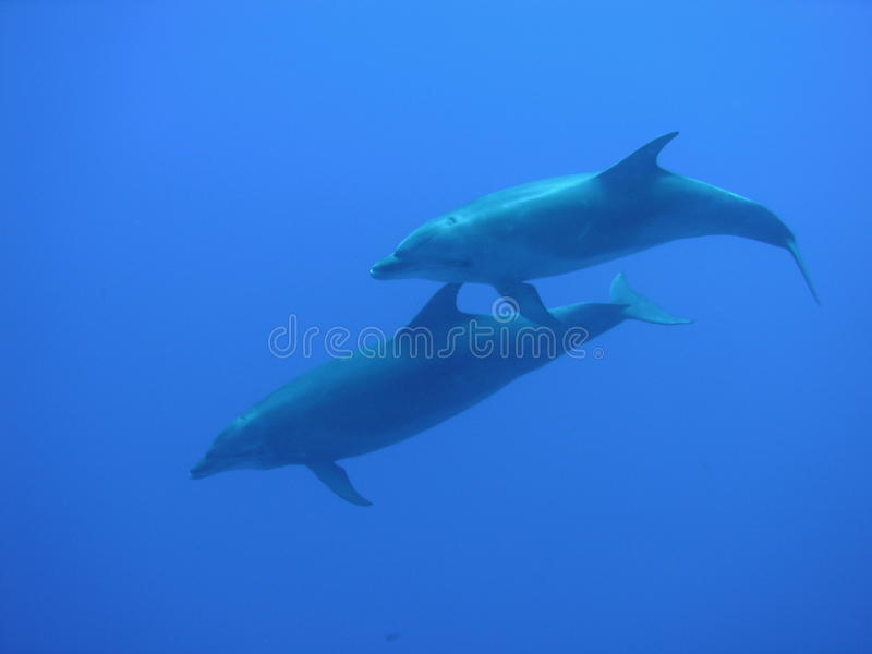 Dolphin. Two Dolphins in the blue blue ocean stock photos