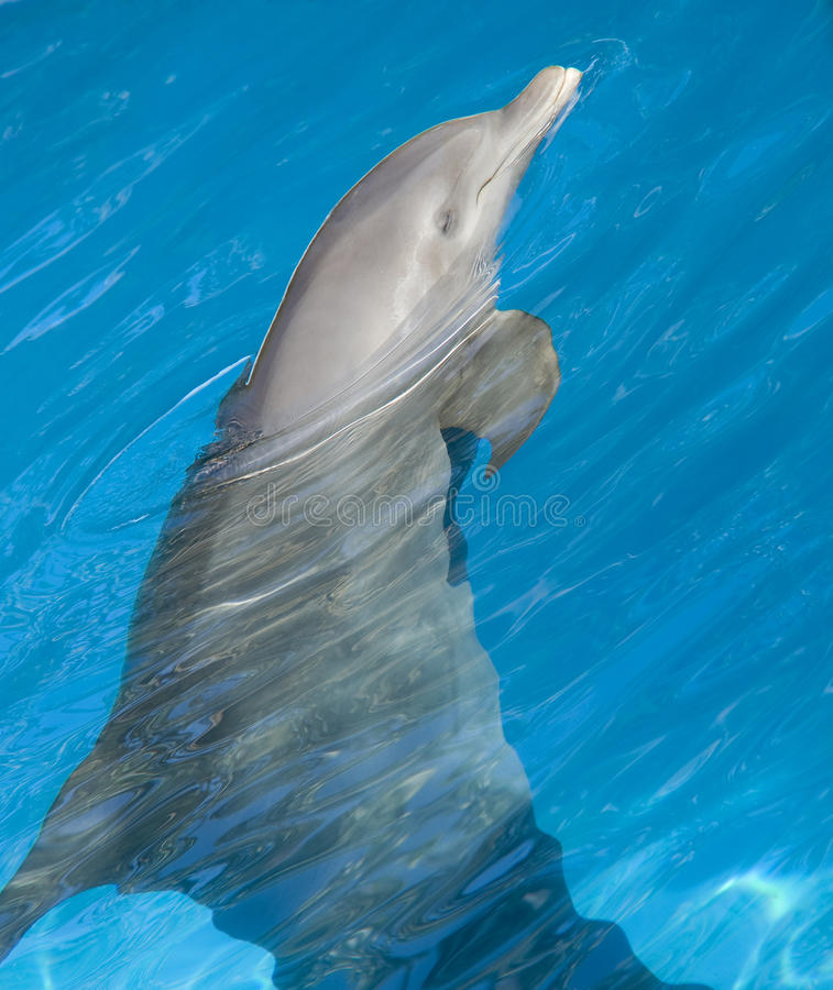 Download Dolphin stock image. Image of nature, animal, sealife - 21687939