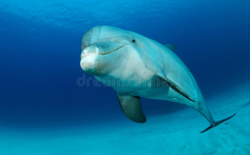 Dolphin. Bottlenose dolphin in water swimming royalty free stock photos