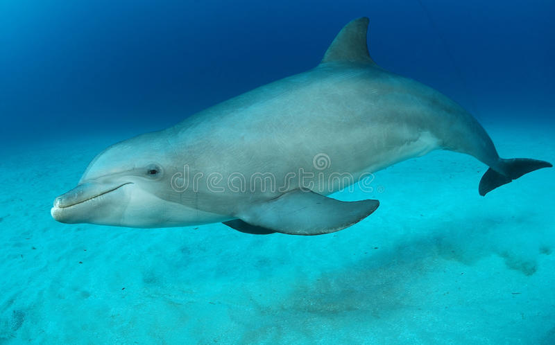 Dolphin. Bottlenose dolphin in water swimming royalty free stock images