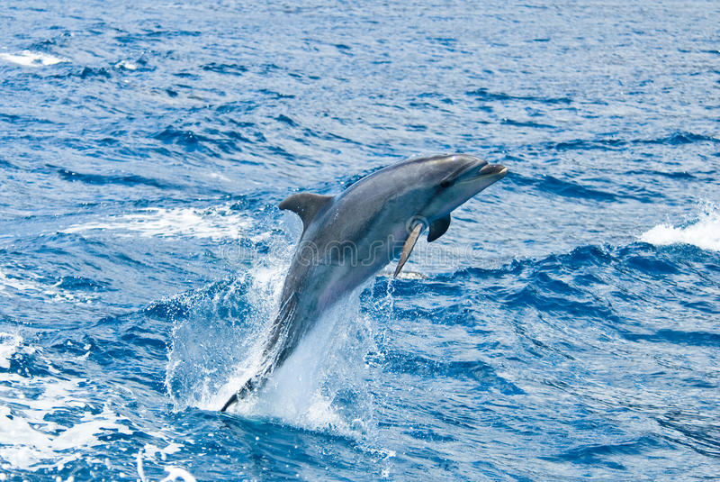 Download Dolphin stock photo. Image of mammal, grey, play, mammals - 26656992