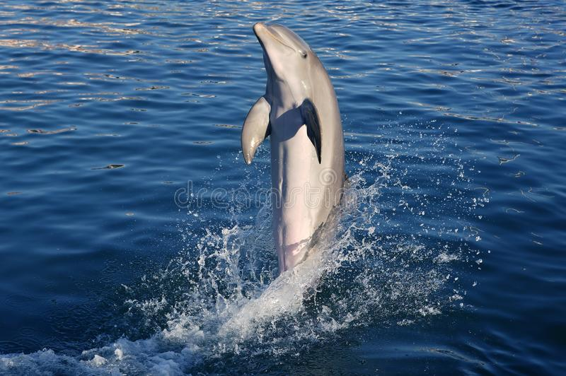 Dolphin acrobacy during dolphins show in Caribbean. Sea, nature stock photography