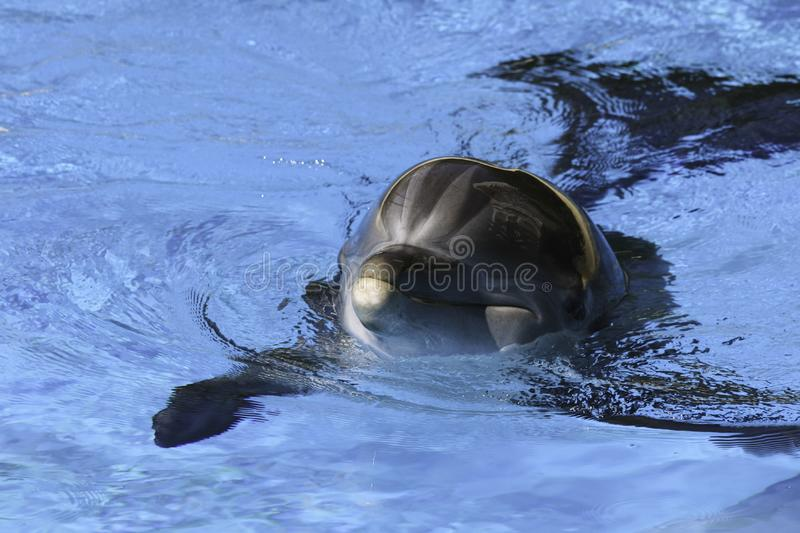 A Dolphin an aquatic mammal swimming on a sunny clear day royalty free stock image