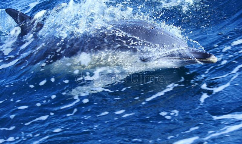 Dolphin in Australian Water. The waters around Australia range from the warm tropical waters of northern Australia to the cooler waters around the southern royalty free stock photography