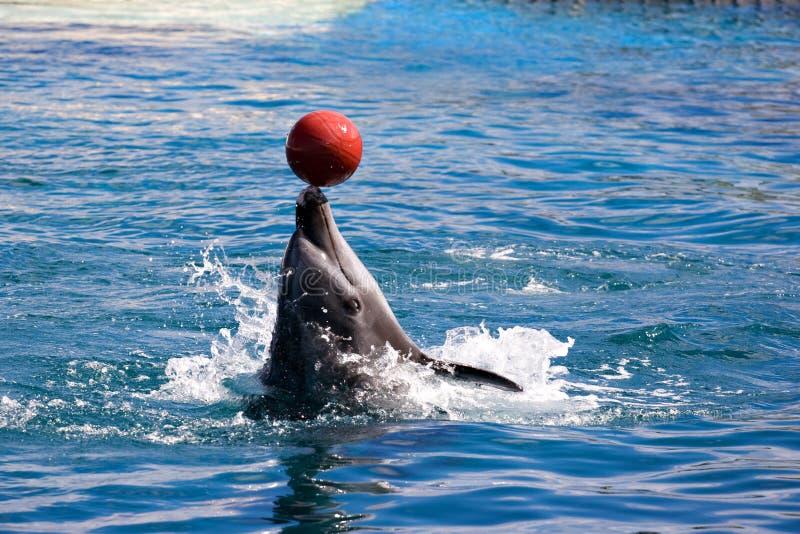 Dolphin balancing ball on nose royalty free stock photos