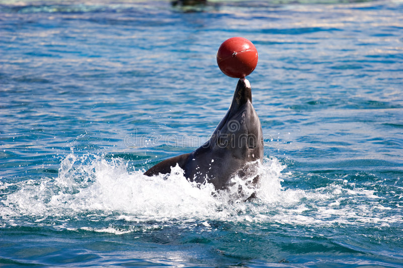 Dolphin balancing ball on nose going backwards royalty free stock image