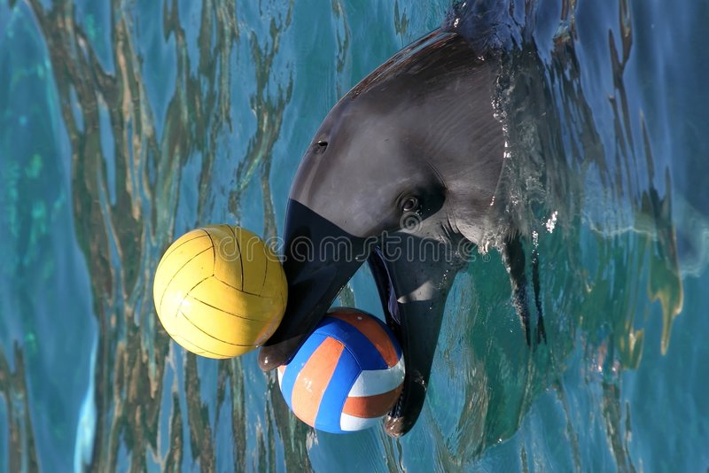 Dolphin balancing balls royalty free stock images