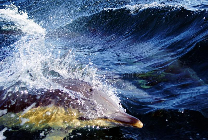 Dolphin in Blue Water. A dolphin belongs to the kingdom of animals, vertebrates, mammals. A dolphin lives in water. There are salt-type and fresh-type dolphins royalty free stock photo