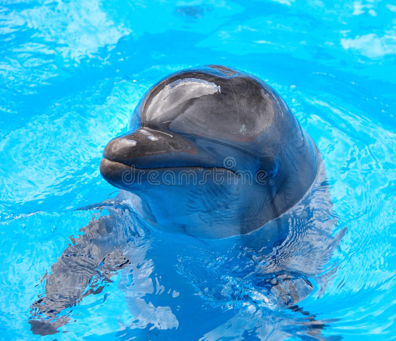 Dolphin in blue water.