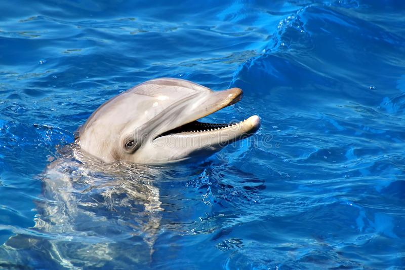 Dolphin. Bottle Nosed Dolphin in blue water