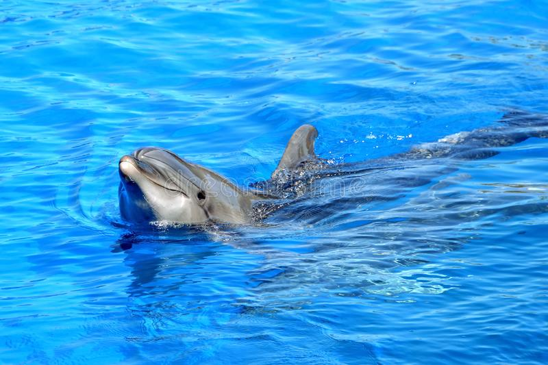 Dolphin. Bottle Nosed Dolphin swimming in blue water royalty free stock photo