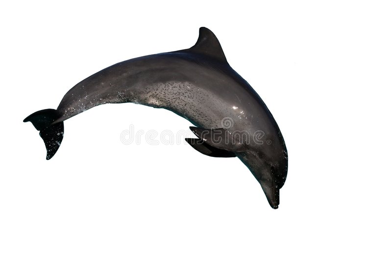 Dolphin bottlenose jumping stock image