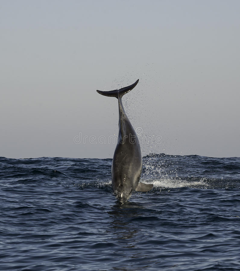 Dolphin breach royalty free stock photos