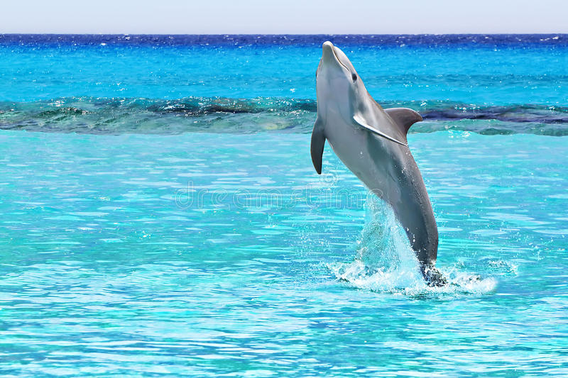 Dolphin in the Caribbean Sea stock photography