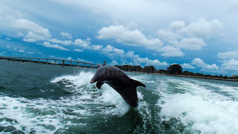 Dolphin @ Clearwater royalty free stock image
