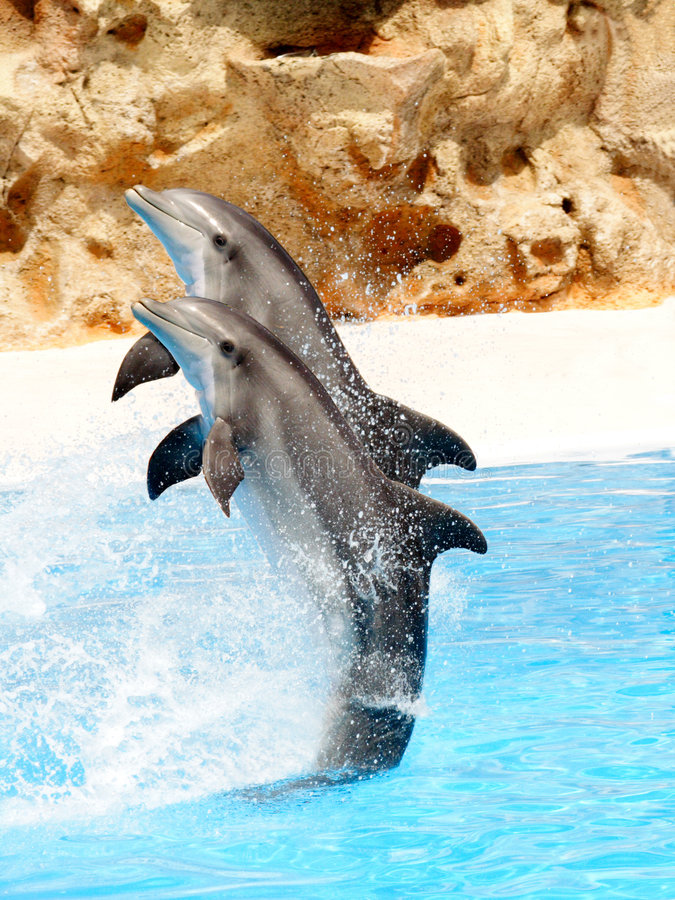Dolphin Display #4. A pair of bottlenose dolphin performing a tail stand stock photos