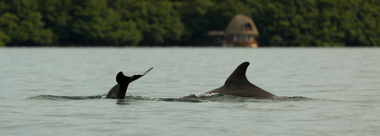 Dolphin diving into the calm water, bay in the archipelago of Bocas del Toro, Caribbean sea, Panama. Dolphin diving into the calm water of Dolphin bay in the royalty free stock images