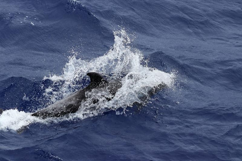 Dolphin swimming at high speed with splashes in the ocean. Common dolphin Delphinus delphis in natural habitat. Marine mammal in N. Dolphin diving at high speed stock photos
