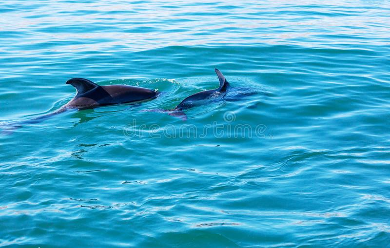 Dolphin. In ocean, Argentina stock images