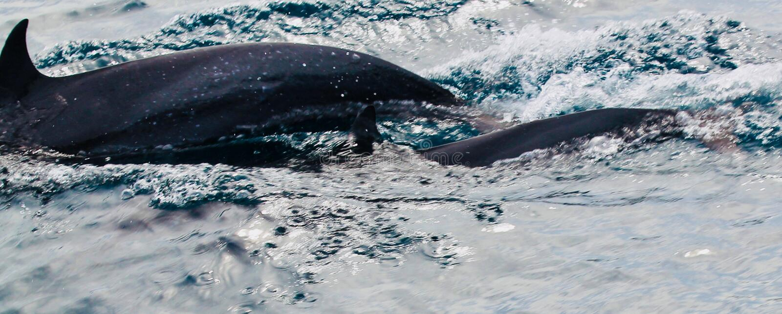 Dolphin. S swim by the diving boot in Indonesia stock photography