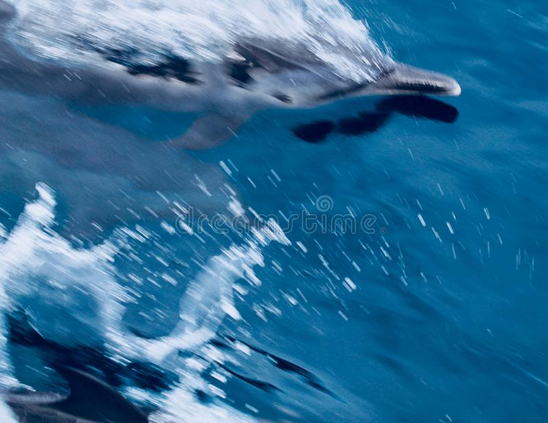 Dolphin. S swim by the diving boot in Indonesia stock photos
