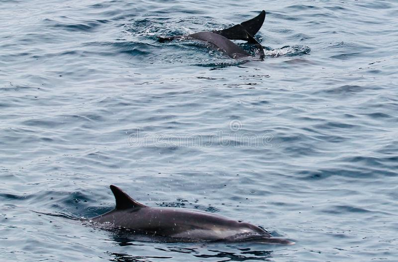 Dolphin. S swim by the diving boot in Indonesia royalty free stock photography