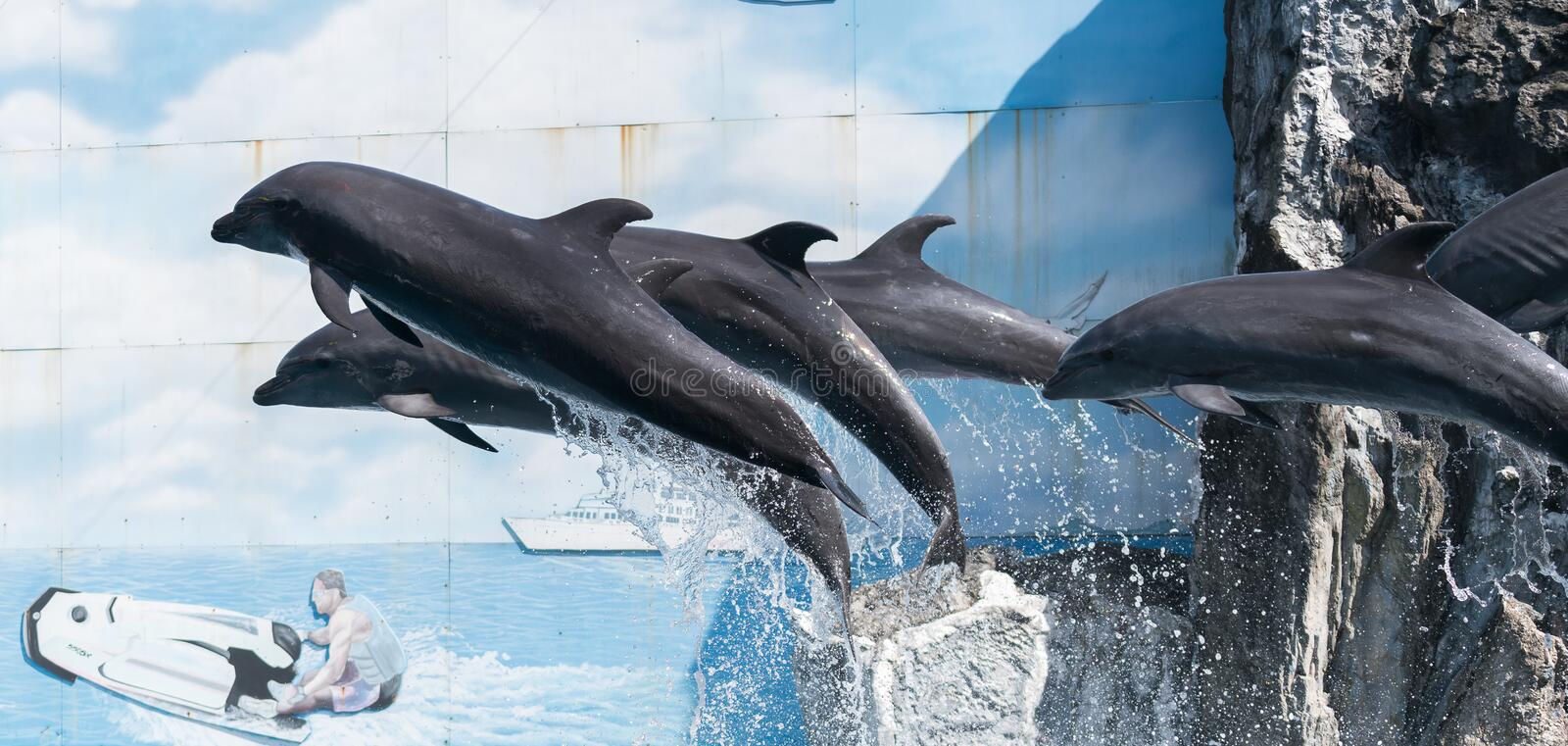 Dolphin. S are a widely distributed and diverse group of fully aquatic marine mammals. They are an informal grouping within the order Cetacea, excluding whales stock image