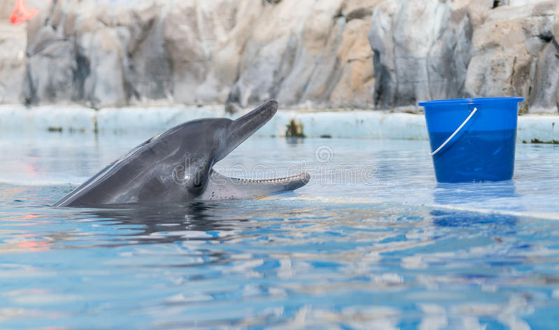 Dolphin. S are a widely distributed and diverse group of fully aquatic marine mammals. They are an informal grouping within the order Cetacea, excluding whales stock photos