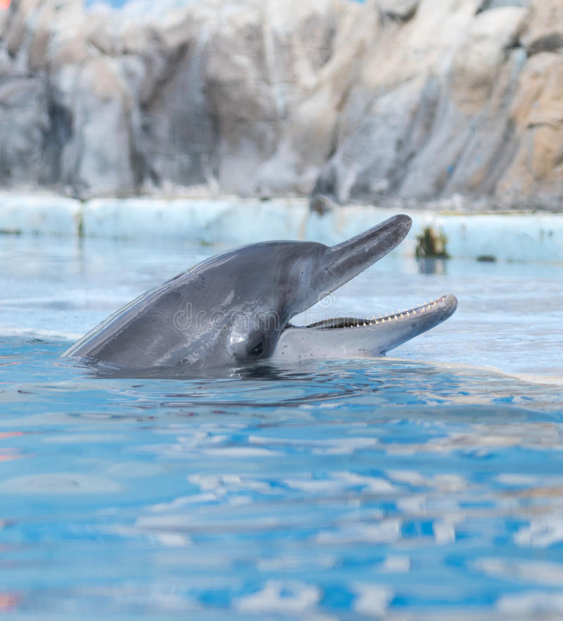 Dolphin. S are a widely distributed and diverse group of fully aquatic marine mammals. They are an informal grouping within the order Cetacea, excluding whales royalty free stock photo