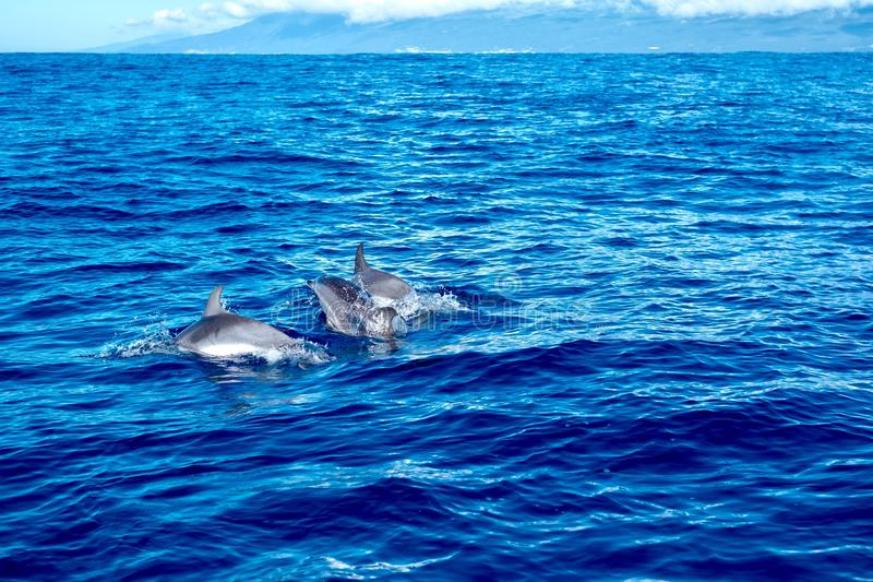Dolphin family playing together in the Atlantic. A family group of spotted dolphins swimming and diving and playing around the whale watching boat stock photos