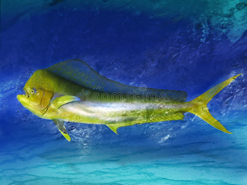 Dolphin fish. A large trophy bull dolphin fish swims quickly close to the bottom of its environment royalty free stock photo
