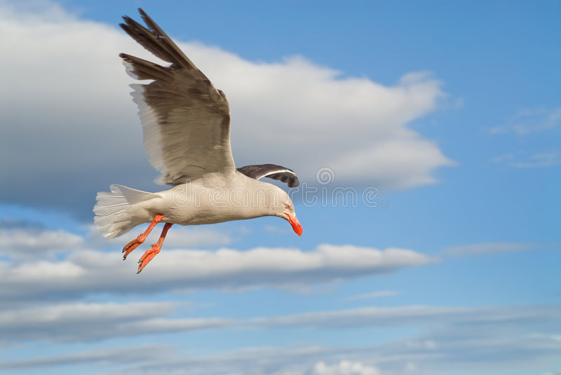Dolphin Gull Flying Stock Images