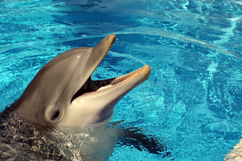 Dolphin in hotel pool royalty free stock photography