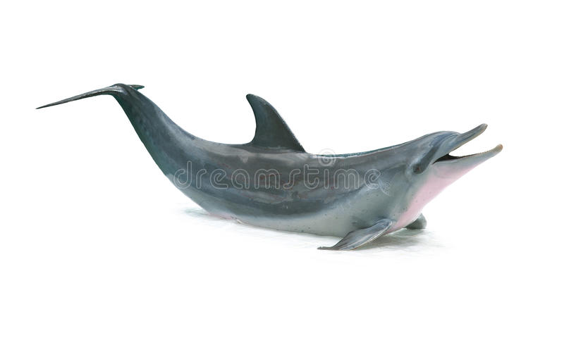 Dolphin isolated. On white background royalty free stock photo