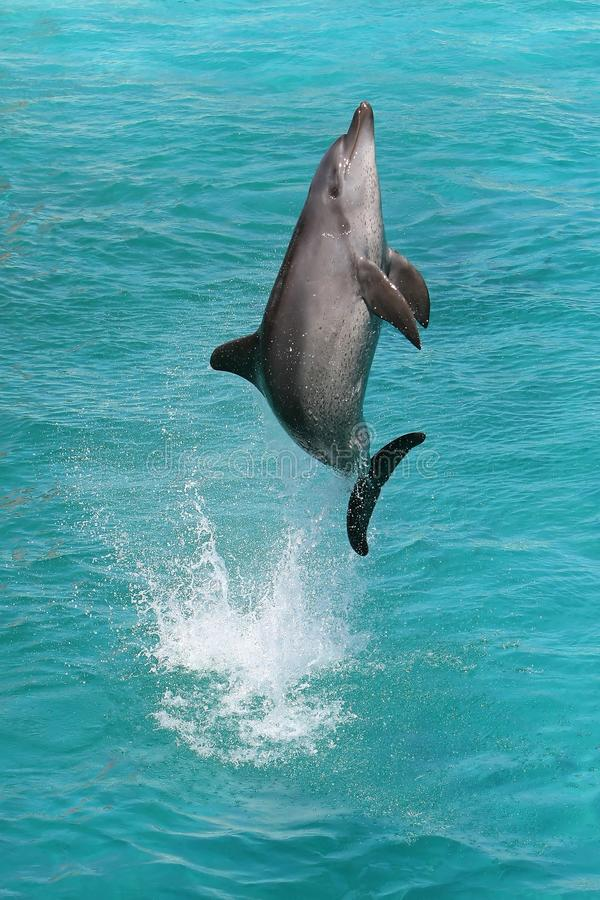 Dolphin Jump. A bottlenose dolphin leaping out of the blue water in joy royalty free stock photography