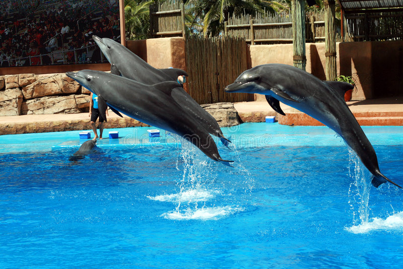 Dolphin jump. 3 dolphins jumping out of water stock photography