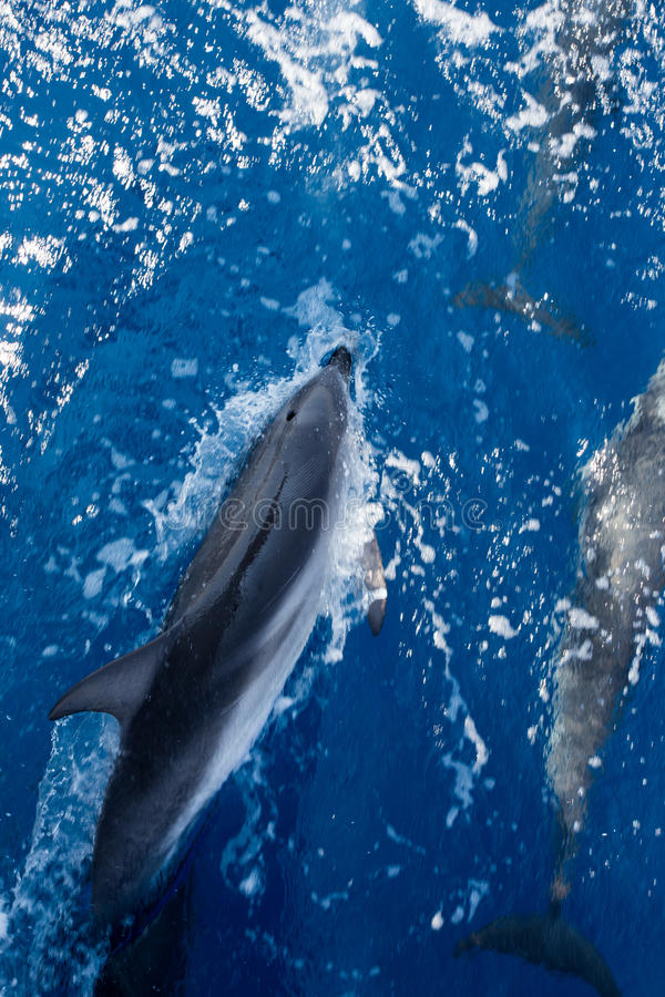 Dolphin Jump. Striped Dolphins jumping while following alongside the bow of a sailing ship stock image