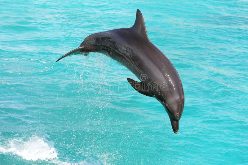 Dolphin Jumping stock photography