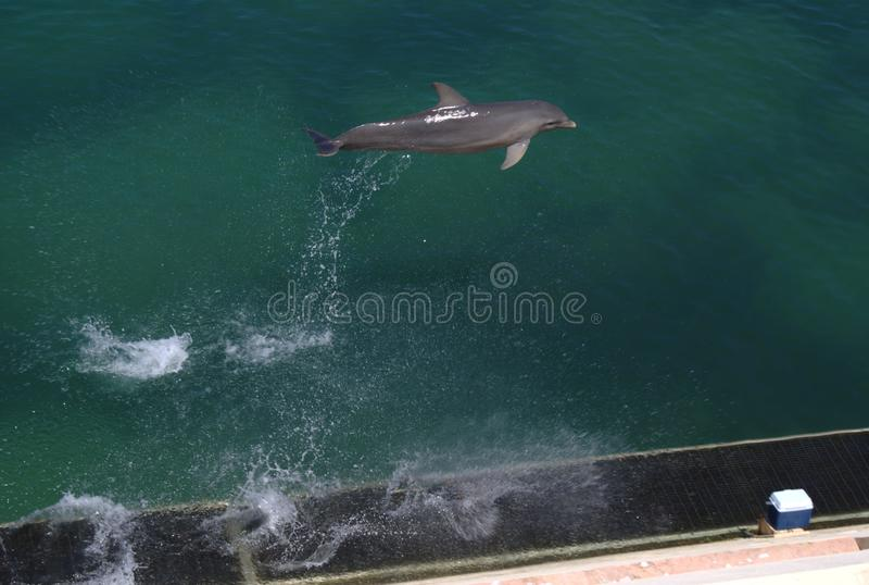 Dolphin jumping. Dolphin is an aquatic marine mammal animal in the order Cetacea royalty free stock image