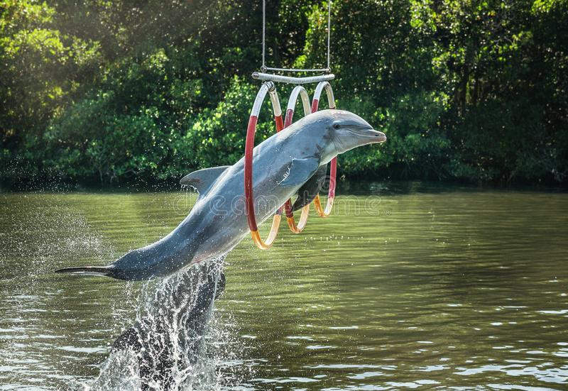 Dolphin jumping through hoops. In an outdoor pool stock photo