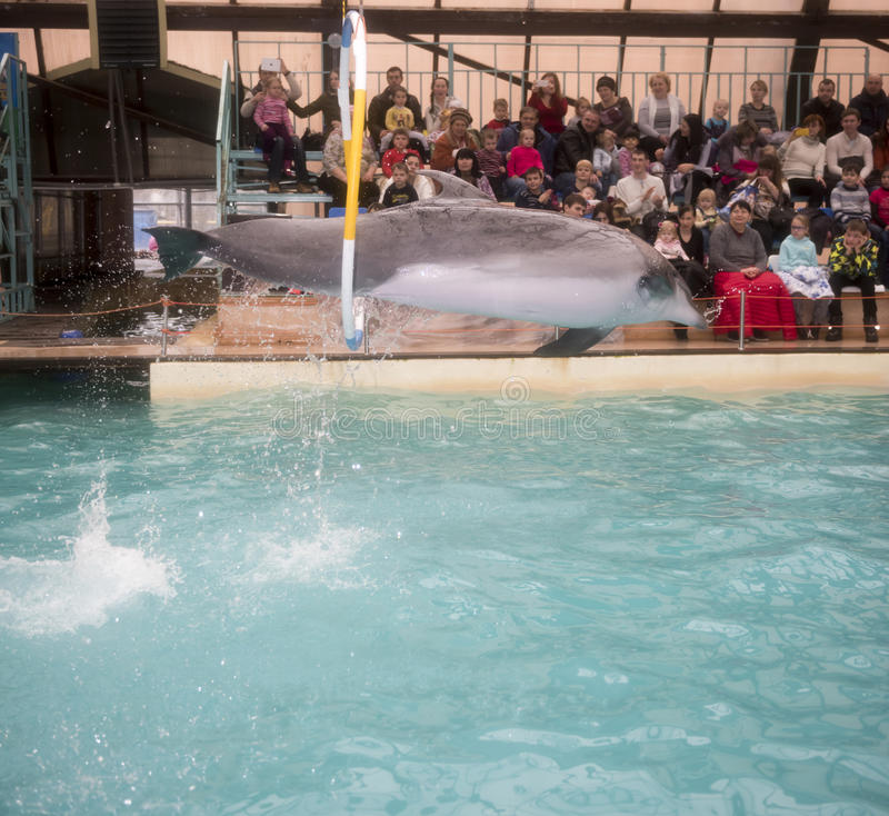 Dolphin jumping through hoops at the Rostov dolphinarium royalty free stock images