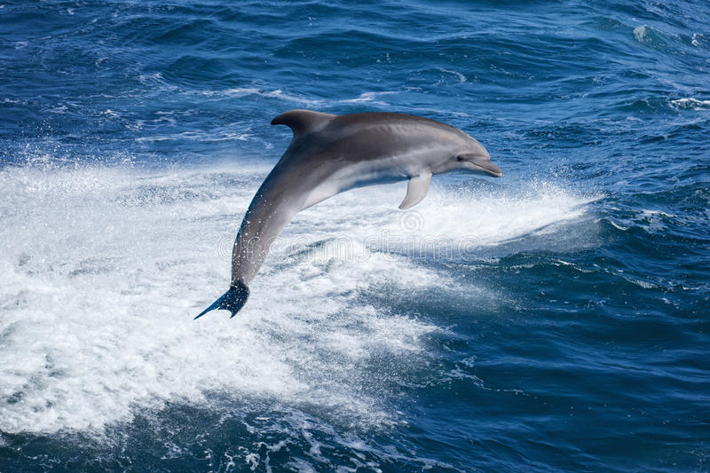 Dolphin jumping. Marine wildlife background - bottlenone dolphin jumping over sea waves royalty free stock photography