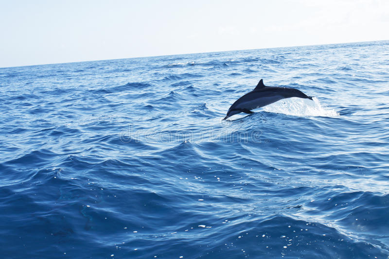 Dolphin jumping in the ocean. Spinner Dolphin jumping from the ocean off Na Pali Coast, Kauai, Hawaii stock image