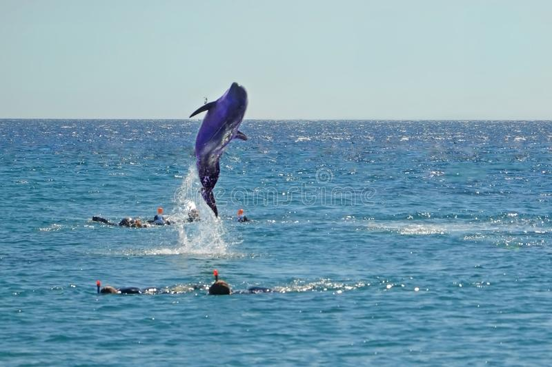 Dolphin jumping out of the Red sea near divers. Snorkeling in Dolphin Reef, Israel royalty free stock photography