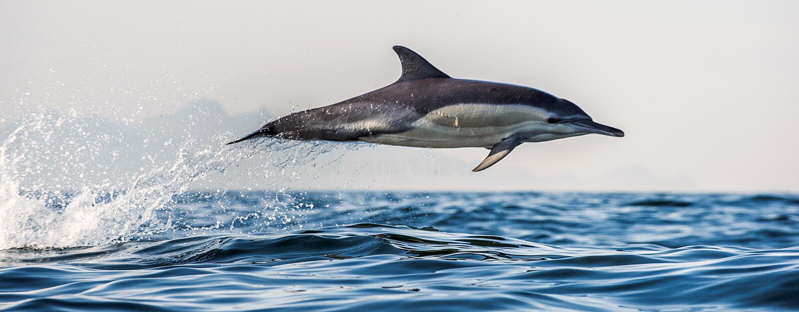 Dolphin jumping out of water. The Long-beaked common dolphin. stock photos