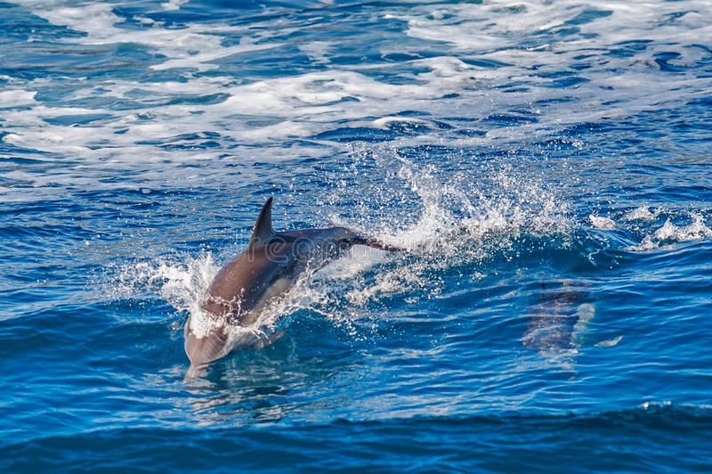 Dolphin jumping. Outside the sea royalty free stock images