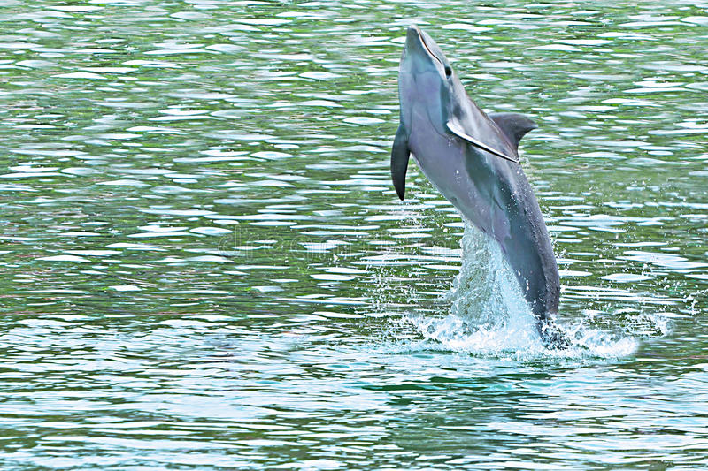 Dolphin jumping of the sea