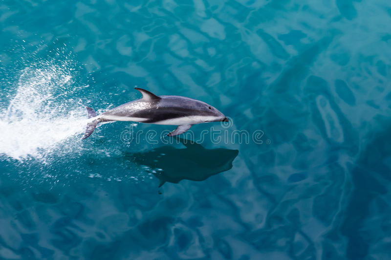 Dolphin jumping from water stock image